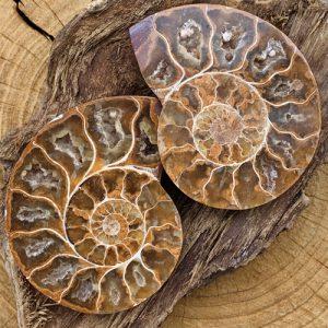 Ammoniet Fossiel set 75 mm